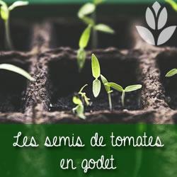 semis de tomates en godets