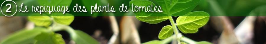 repiquage des plants de tomates