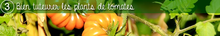 comment bien tuteurer les plants de tomates