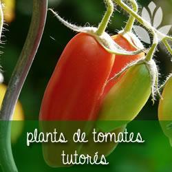 tomates sur tuteur en métal