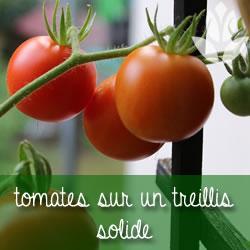 tomates sur treillis