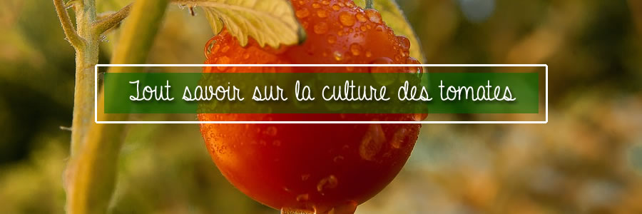 tout savoir sur la cultures des tomates au potager