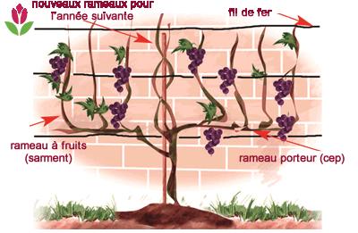 taille des vignes