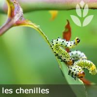 chenilles sur les feuilles des arbustes