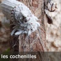 cochenilles sur les branches