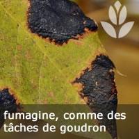 fumagine, maladie des feuille des arbustes