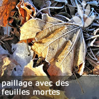paillage de feuilles mortes