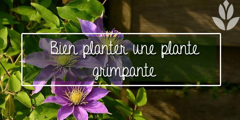 bien planter une plante grimpante
