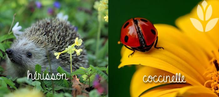 herisson et coccinelle : les amis du jardin