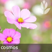 cosmos pour le potager