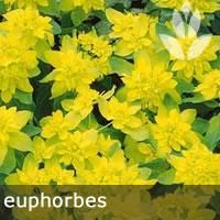euphorbes pour potager