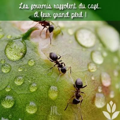 marc de café et les fourmis