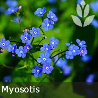 myosotis pour le potager