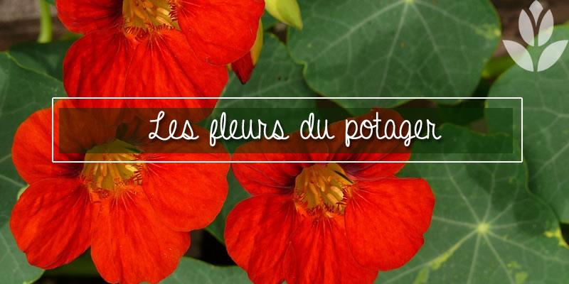 les fleurs du potager