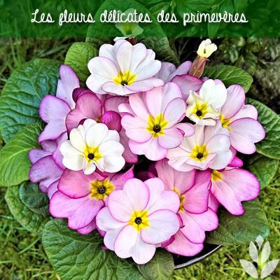 primevère en fleurs