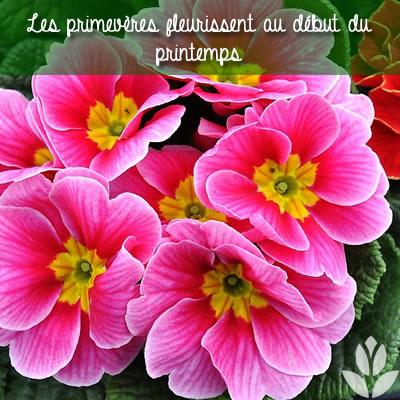 primevère et floraison printanière