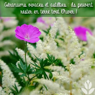 géranium vivace et astilbe