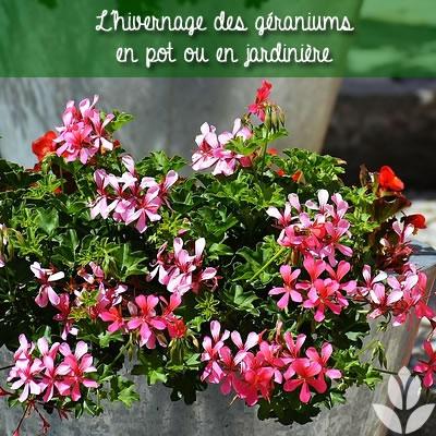 hivernage des géraniums en pot