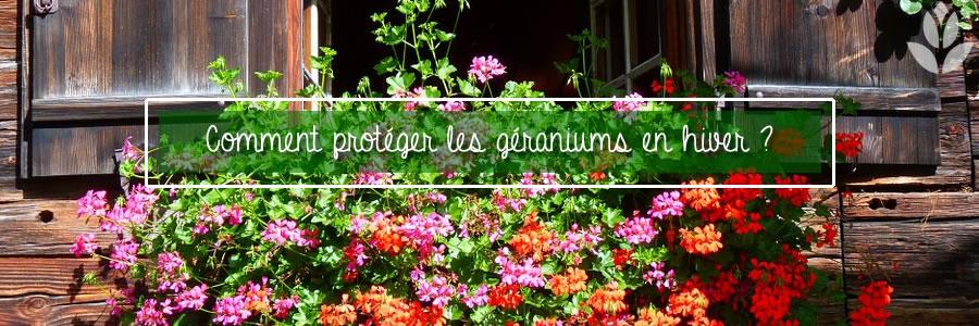 protection hivernale des géraniums
