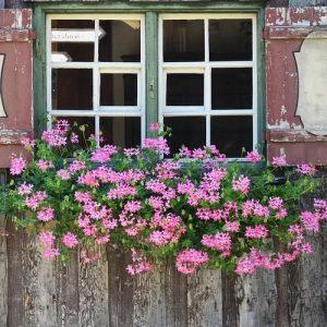 geranium protection hivernale balcon
