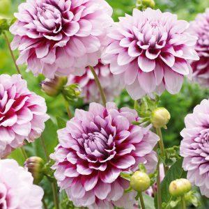 G raniums les soins d hiver les conseils pour votre jardin de willemse france - Quand planter les geraniums ...