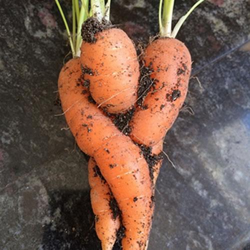 un amour de carotte