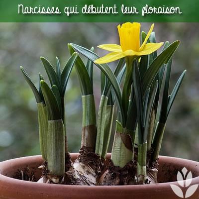 narcisses fleurs