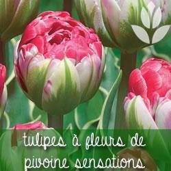 tulipes pivoines sensations