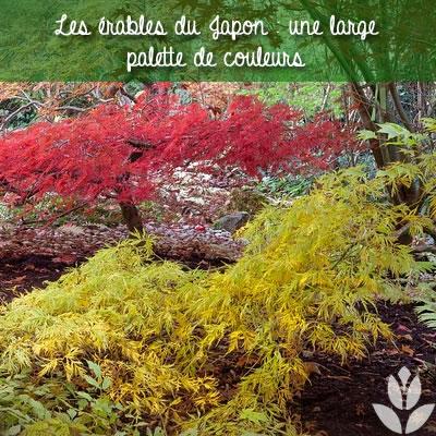 érable du japon, une large palette de couleurs