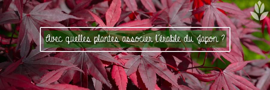 avec quelles plantes associer l'érable du Japon?