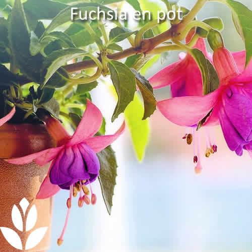 fuchsia en pot