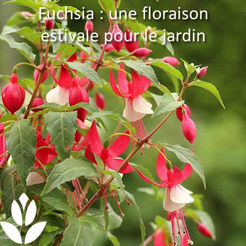 fuchsia floraison estivale