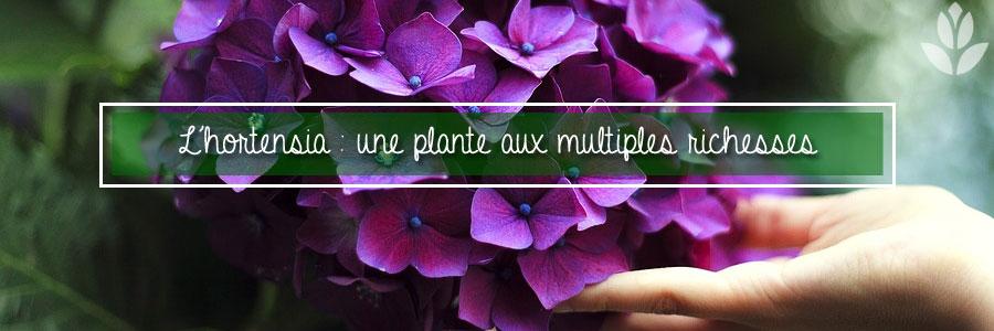 L'hortensia : une plante aux multiples richesses