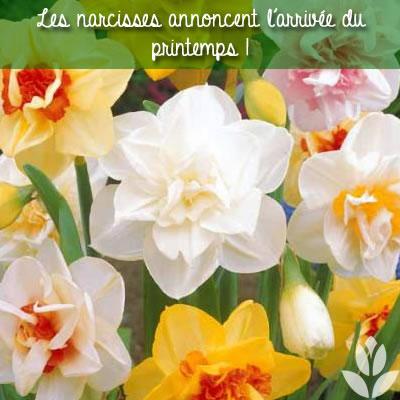 les narcisses annoncent le printemps