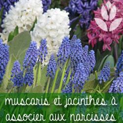muscaris et jacinthes