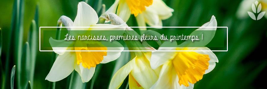 narcisses, fleurs du printemps
