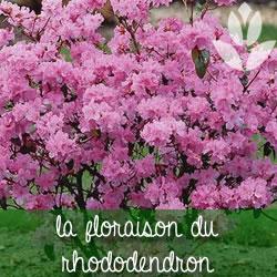 narcisse et rhododendron