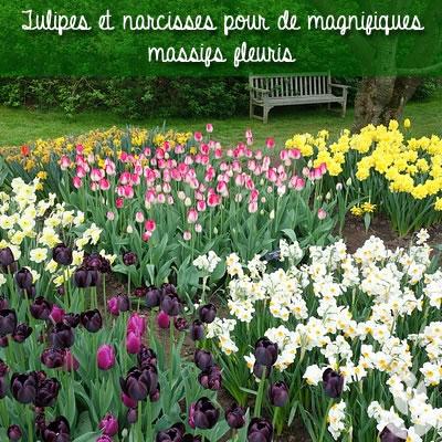 massifs de narcisses et tulipes