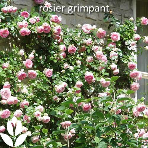 rosier grimpant