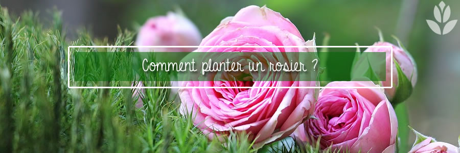 comment planter un rosier ?