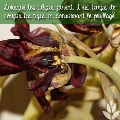 tulipes fanées : retirer les tiges et garder le feuillage