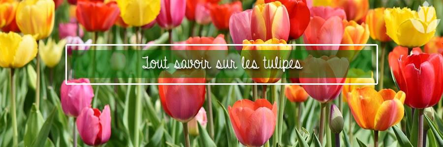 cultiver les tulipes dans son jardin