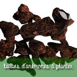 bulbes d'anémones à planter