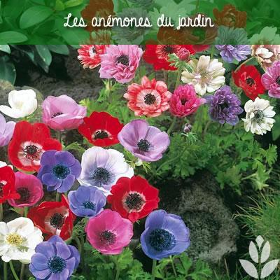les anémones de jardin pour fleurir les bordures