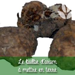 bulbe d'arum