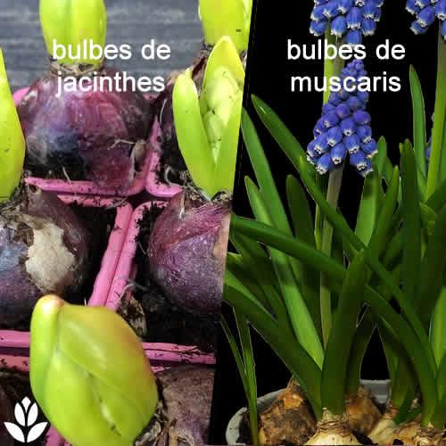bulbes jacinthes et muscaris