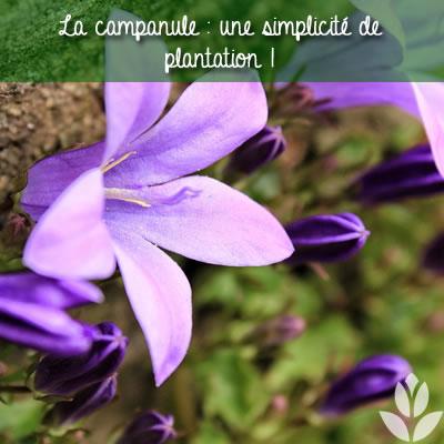simplicité de plantation des campanules