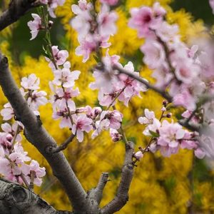 cerisier taille