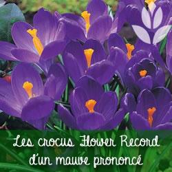 crocus violet