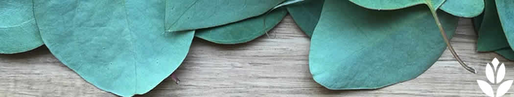 Est ce que je peux planter un eucalyptus en france les conseils pour votre jardin de - Planter un eucalyptus dans son jardin ...